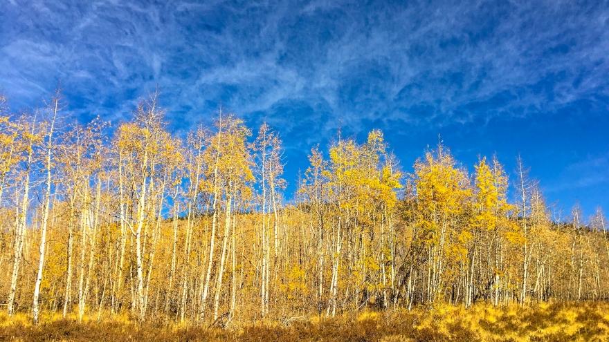 yellow aspens, fall leaves, colorado trail, kenosha pass, fall colors, blue sky