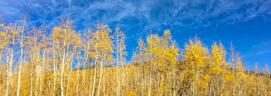 yellow aspens, fall leaves, colorado trail, kenosha pass, fall colors, blue sky